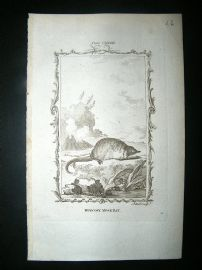 Buffon: 1785 Muscovy Musk Rat, Antique Print